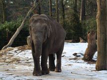 Asian elephant close Stock Photo