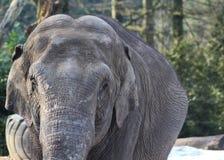 Asian elephant close Royalty Free Stock Image