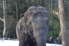 Asian elephant close Royalty Free Stock Photos
