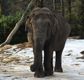 Asian elephant close Royalty Free Stock Images