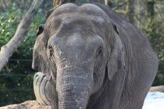Asian elephant close Royalty Free Stock Photography