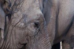 Asian Elephant close up. Asain elephant close up on side of face & ear Stock Photography