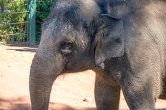 Asian Elephant Close-up Stock Images