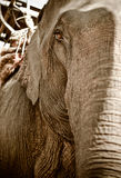 Asian elephant Stock Photo