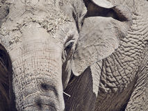 Asian elephant closeup image Stock Images