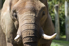 Asian Elephant Closeup - Pachyderm Royalty Free Stock Image