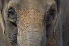 Asian Elephant Closeup Portrait Abstract Royalty Free Stock Photo