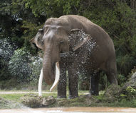 Asian Elephant Cooling Off Stock Photos