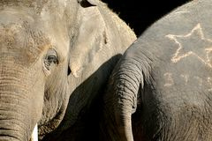 The Asian Elephant (couple) Stock Photo
