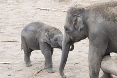Asian elephants, mother and baby tender together Royalty Free Stock Photo