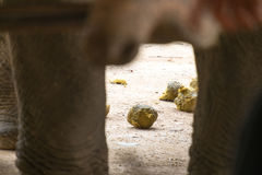 Asian elephant crapping. On the ground Stock Photos