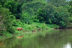 Asian Elephant eating grass in forest Stock Photos
