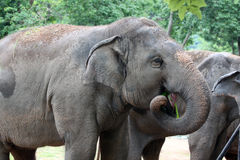 Asian elephant eating grass happily. Stock Photography
