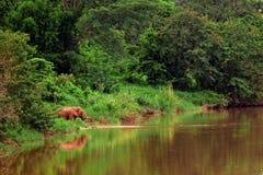 Asian elephant eating grass beside river Stock Image