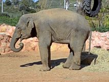 Asian elephant eating hay. The Asian or Asiatic elephant (Elephas maximus) is the only living species of the genus Elephas and is distributed in Southeast Asia Stock Photos