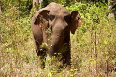 An Asian elephant eating and roaming through the jungle in Cambodia royalty free stock photography