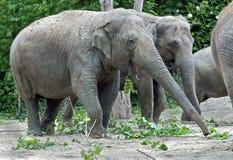 Asian elephant 2 Stock Photos