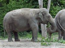 Asian elephant 3 Royalty Free Stock Photography