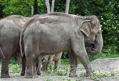 Asian elephant 4 Stock Image