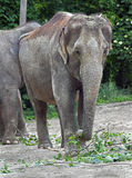 Asian elephant 5 Royalty Free Stock Images