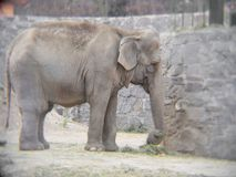 Asian elephant eating in a zoo. Maximum elephas, mammalian animal in danger of extinction, endangered species Stock Photo