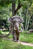 Asian Elephant. S in a wildlife reserve in northern Thailand stock photo