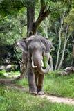 Asian Elephant stock photo