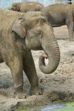 Asian elephant Royalty Free Stock Photos