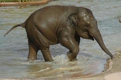Asian Elephant (Elephas maximus). A baby Asian Elephant in Copenhagen Zoo, Denmark (2009 stock image