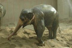 Asian elephant (Elephas maximus). A young Asian elephant enjoys having bath royalty free stock photos