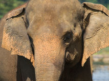 Asian elephant - Elephas maximus Stock Photos
