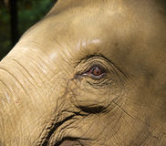Asian elephant - Elephas maximus Royalty Free Stock Image