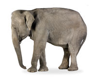 Asian Elephant - Elephas maximus (40 years) Stock Photo