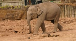 Asian Elephant - Elephas maximus Stock Photo