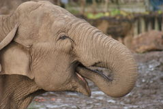 Asian Elephant - Elephas maximus Stock Photography