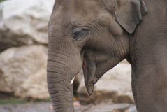 Asian Elephant - Elephas maximus Royalty Free Stock Photography
