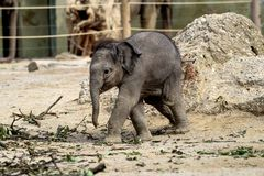 The Asian elephant, Elephas maximus also called Asiatic elephant royalty free stock images