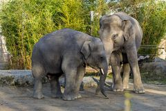 The Asian elephant, Elephas maximus also called Asiatic elephant stock photos