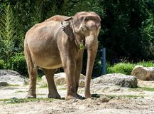 The Asian elephant, Elephas maximus also called Asiatic elephant stock images