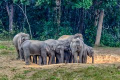Asian elephant or Elephas maximus. stock photos