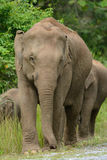 Asian Elephant (Elephas maximus) Royalty Free Stock Image