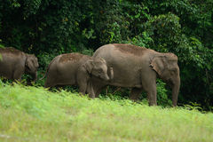 Asian Elephant (Elephas maximus) Royalty Free Stock Photography