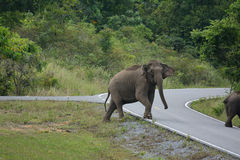 Asian Elephant (Elephas maximus) Stock Photo