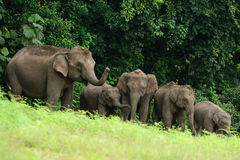Asian Elephant (Elephas maximus) Royalty Free Stock Images