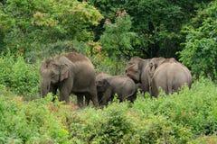 Asian Elephant (Elephas maximus) Stock Photo