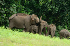 Asian Elephant (Elephas maximus) Royalty Free Stock Photos