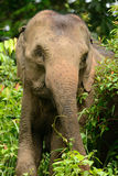 Asian Elephant (Elephas maximus) Stock Photos