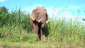 Asian elephant it is a big mammal . stock video