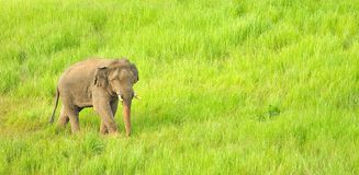 Asian Elephant  Elephas maximus  in grassland at Khao Yai national park, Thailand Royalty Free Stock Image