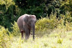 Asian Elephant, Elephas maximus, with green grass. In the trunk stock images